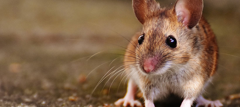 3-D Printed Ovaries Are Helping Mice to Get Pregnant